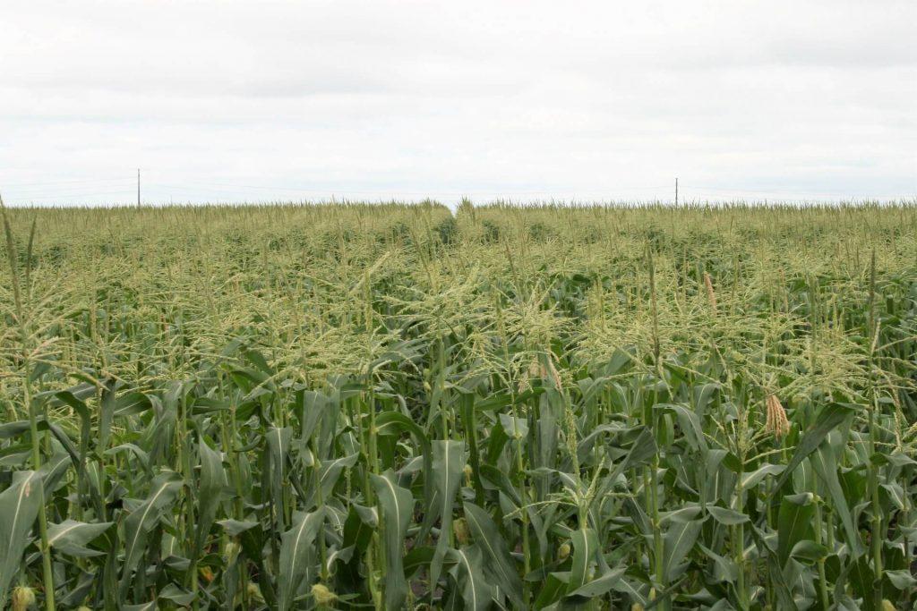 Sweet corn in Rock County